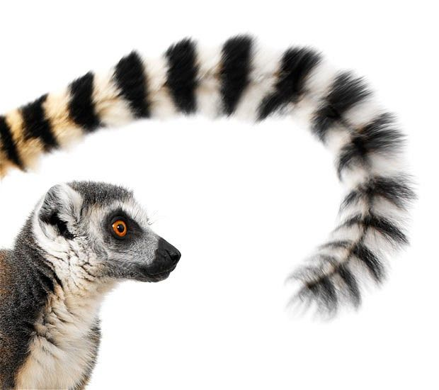 Bamboozled the ring tailed lemur curls his prehensile tail in a portrait by Lennette Newell