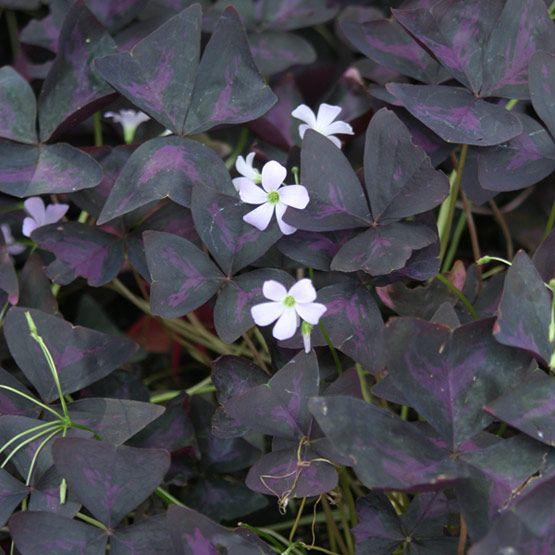 25 best ideas about purple shamrock on pinterest shamrock plant shamrock flower and flowers - Shamrock indoor plant ...