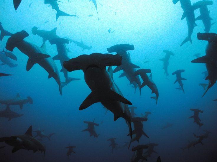 Акула молот – одно из наиболее необычных созданий природы. Эксцентричная внешность молотоголовой акулы внушает удивление, замешанное на страхе, особенно тем,…