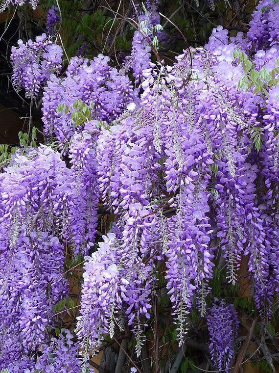 Vikkivines Purple Wisteria Vine Spring In Bloom Cottage Garden Seeds Purple Scented Flowers Small Tree Bonsai Holiday Garden Gift With Images Wisteria Plant Garden Vines