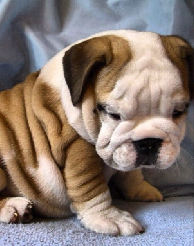 English Bulldog puppy ❤ Love that wrinkly belly!