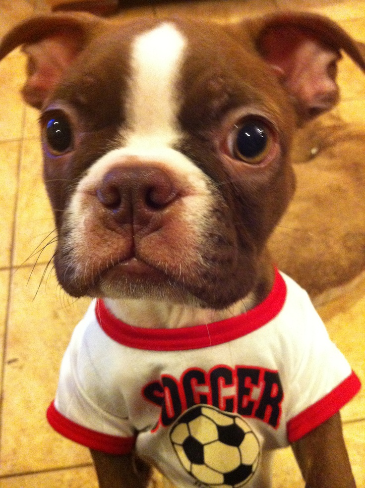 Brian the red boston terrier!