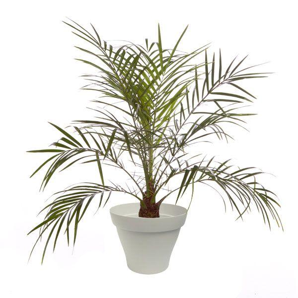 Les 25 meilleures id es concernant palmier phoenix sur for Palmier dans pot