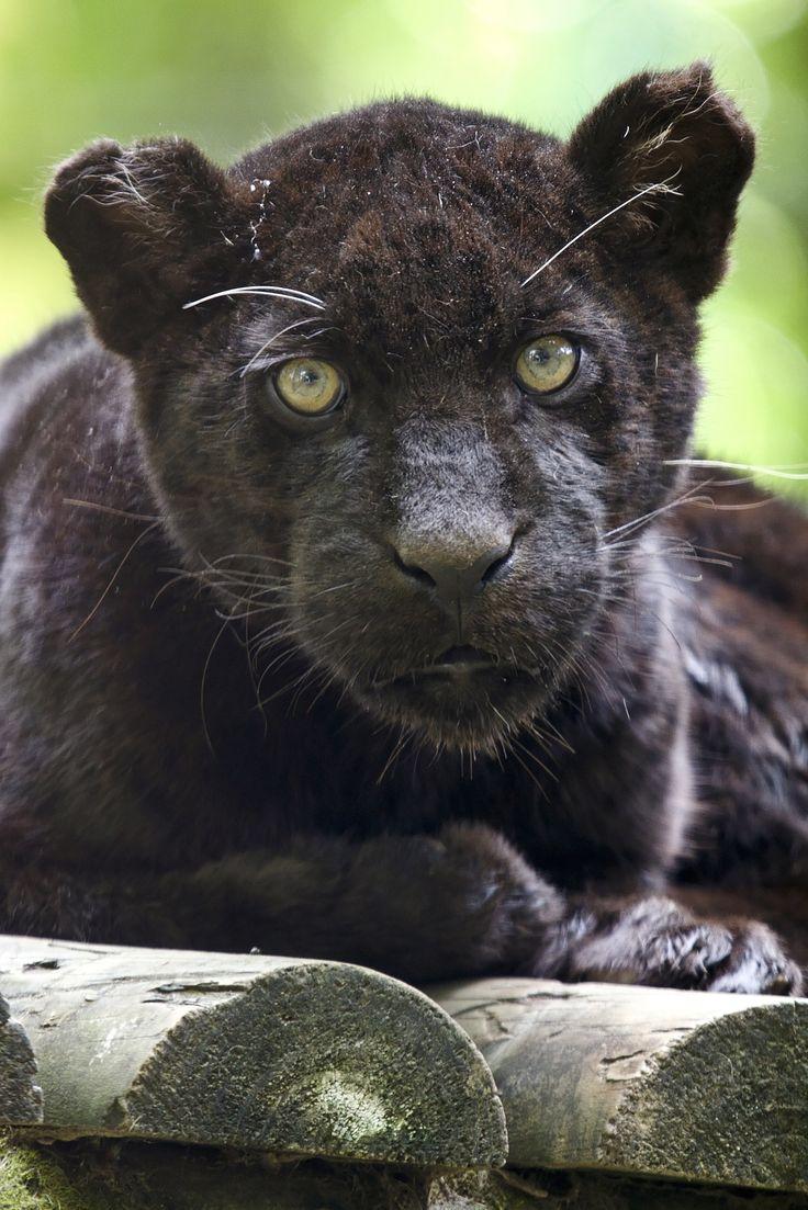 "endangered species report jaguar Meaning of ""endangered""  species facts the jaguar has been an american cat since crossing the bering land bridge during the pleistocene epoch once, jaguars ."