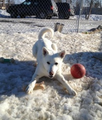 Quina - This 2-yr-old female husky mix has just arrived from Yellowknife. She is sweet, but quite shy, and cautiously optimistic around people. She loves to get pets, and will put her paw on you gently to remind you she's there. Quina is still getting used to people being kind to her, so she prefers gentle movements. For more info, please go to the HEART website.