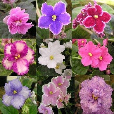Violets.. my favorite indoor flower