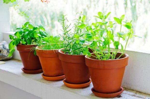 Uprawiane w doniczkach na okiennym parapecie warzywa i zioła to cenne źródło witamin w zimowym okresie