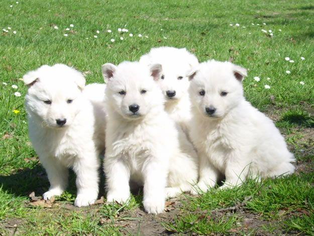 pastor aleman cachorro blanco - Buscar con Google