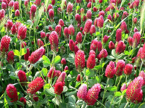 Crimson Clover 250 seeds pretty winter ground cover by SmartSeeds Etsy