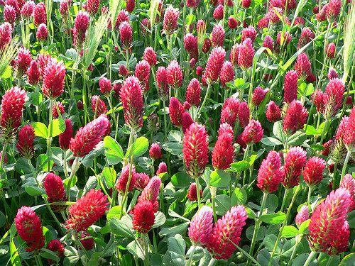Crimson Clover Trifolium incarnatum 500 seeds pretty by SmartSeeds