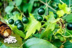 Bryonia Globuli: Infos über Anwendung und Wirkung von Bryonia in der…