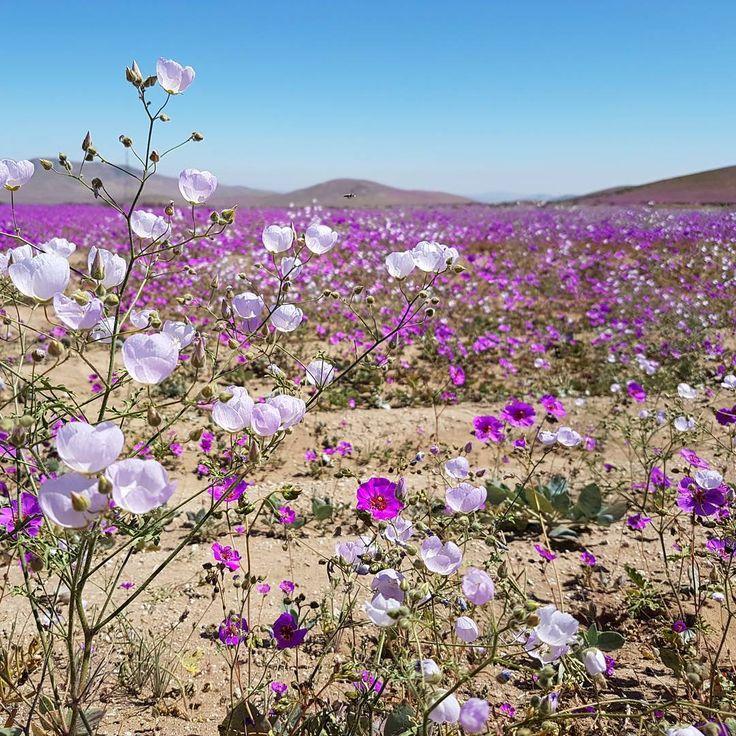 ¿Puede el desierto más árido del mundo florecer? Sí, puede, en Vallenar, Caldera, Tocomar,. Maravillas de Chile en el desierto de Atacama / Can the most dry desert grow flowers?...watch and see