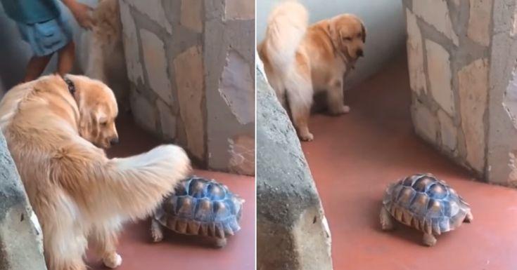 Este perro tiene una increíble relación con una tortuga rescatada y la espera cada vez que pasean juntos #tortuga #tortugas #labrador #golden #goldenretrievers #goldenretriever #perro #perros #dog #dogs #video #videos #noticia #noticias #schnauzi
