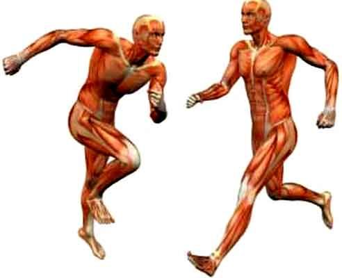 muscles et groupes musculaires