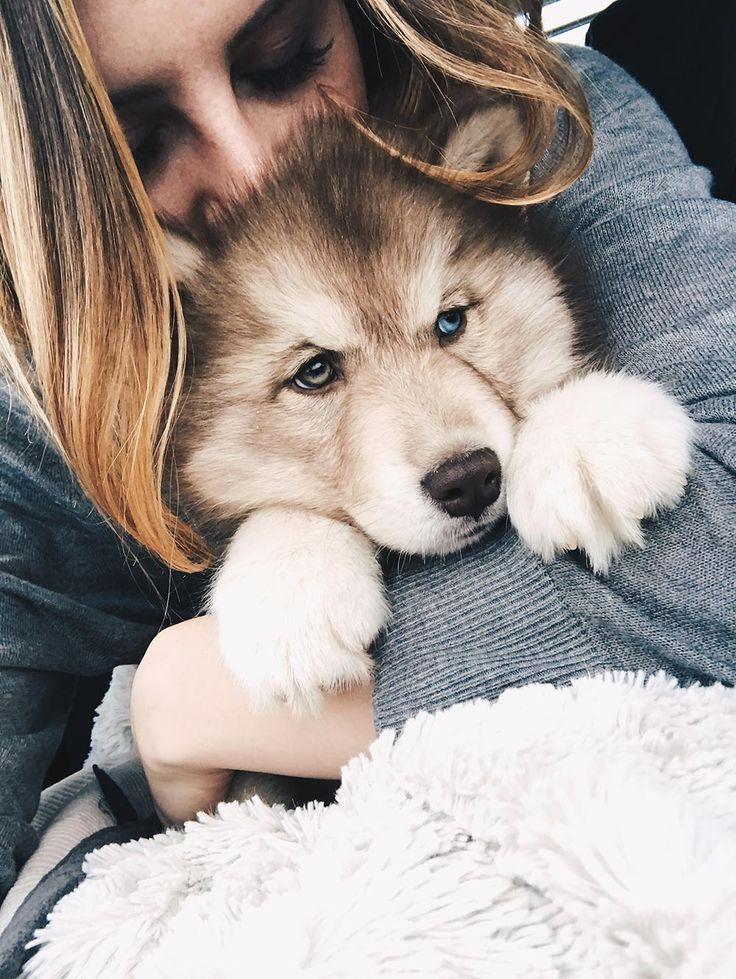 Teddy, welcome to our family! – ein sibirischer Husky Welpe zieht ein!