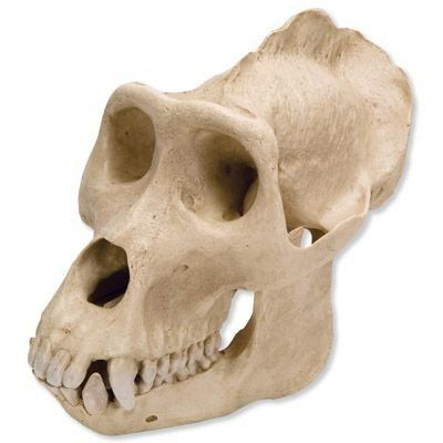"""3B Scientific VP762/1 Plastic Male Gorilla Skull (Gorilla gorilla), 10.2"""" x 6.5"""" x 7.7""""  Male gorilla skull model (Gorilla gorilla) for anatomical and mammalogical study  Movable lower jaw for demonstration of natural movement  Cast from replica of original specimen for accurate reproduction  Made of plastic for durability  Measures 10.2 x 6.5 x 7.7 inches/26.0 x 16.5 x 19.5cm (H x W x D)"""