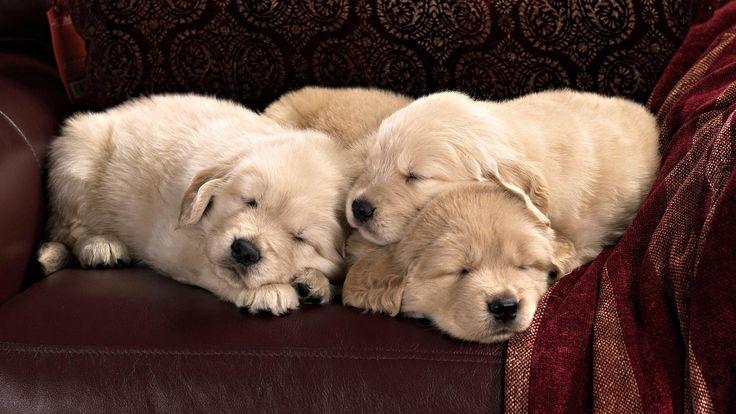 Sleeping Golden Retriever puppies wallpaper