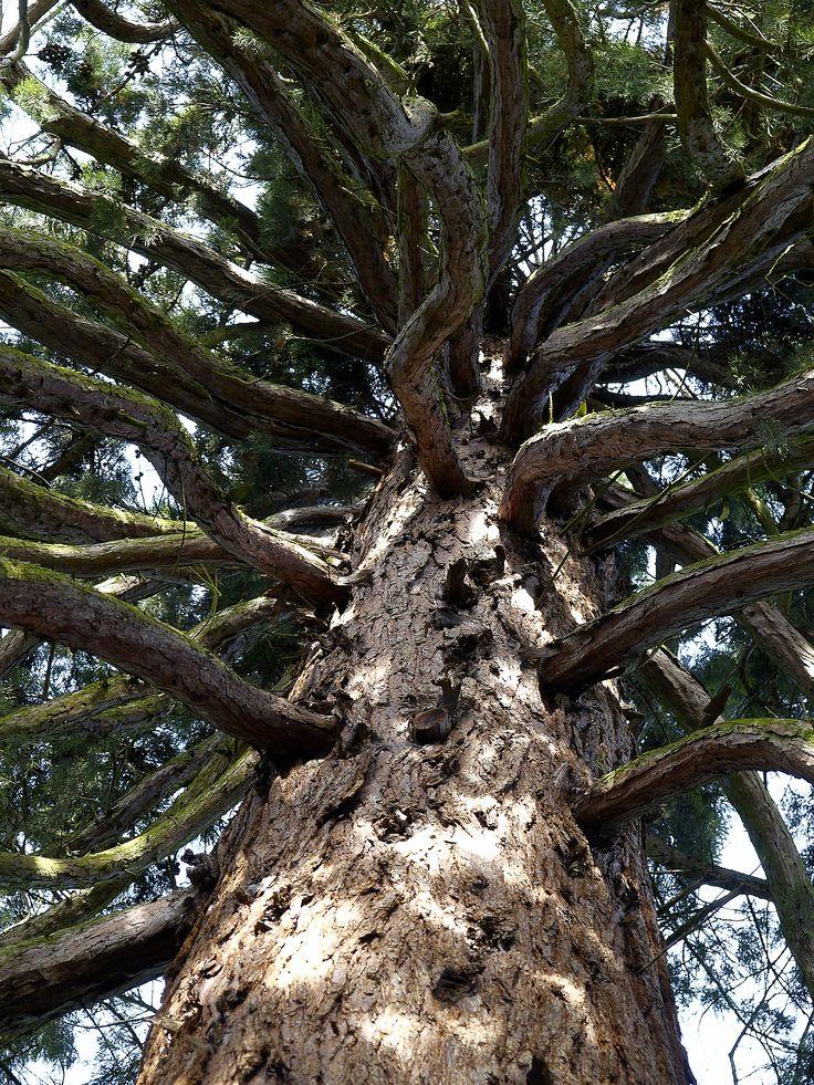 Mammutbaum im Lindenhofpark  in Lindau am Bodensee