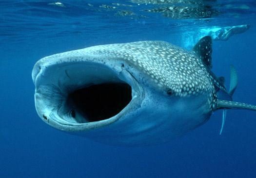 The whale shark (Rhincodon typus)