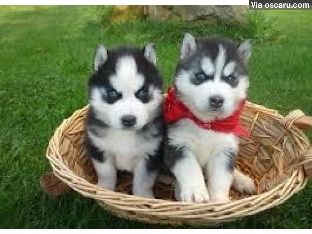 Lovely siberian Husky puppies for good rehoming