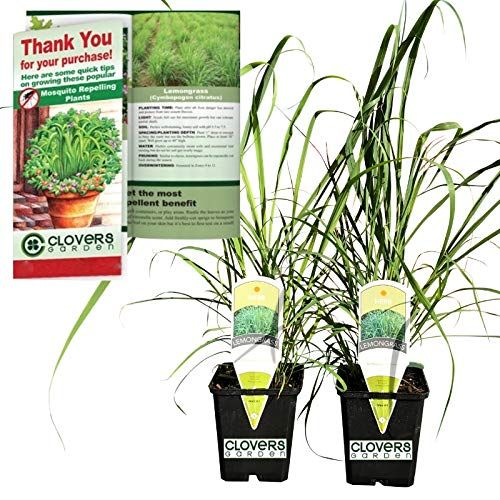 Clovers Garden 2 Nicely Sized Lemongrass Plants Live Mo Https Smile Amazon Com Dp