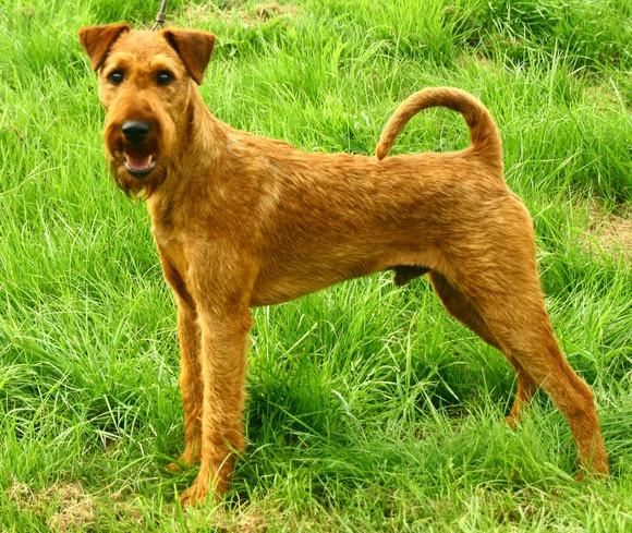 Terrier Irlandés  Origen: Irlanda  Carácter: Valiente y enérgico  Peso: 8 a 11 Kg  Altura: 40 a 45 cm