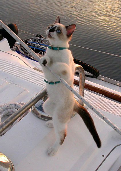Sailor cat........HEY, YOU SAILOR UP THERE......WHERE'S MY LIFE JACKET???......ccp