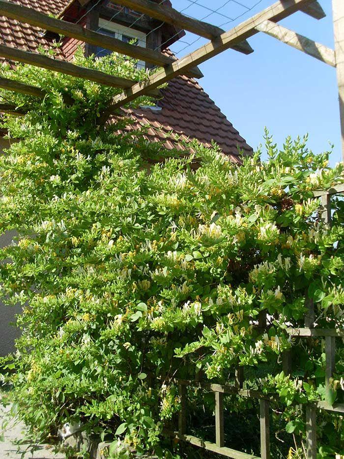 Les 25 meilleures idées concernant plante grimpante ombre sur ...