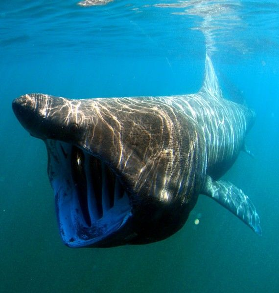 Tracking technologies help to identify key marine areas for basking sharks
