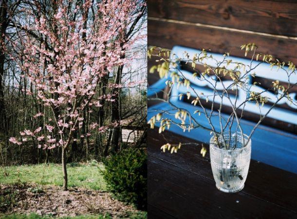 Flowering cherry tree and hazel in vase
