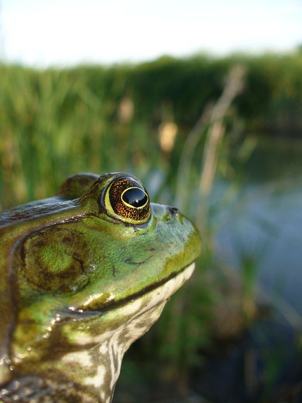 948 Best Frogs Images On Pinterest