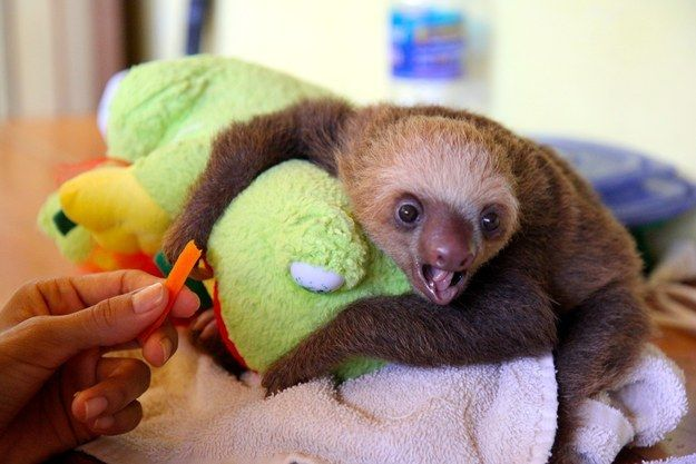 If you didn't already know, pictures of baby sloths eating vegetables have been clinically proven to cure depression and disease and possibly even drug addiction. | Don't Be Sad, Look At These Baby Sloths Eating Vegetables