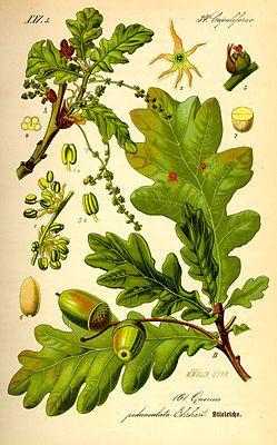 Stieleiche (Quercus robur), Illustration