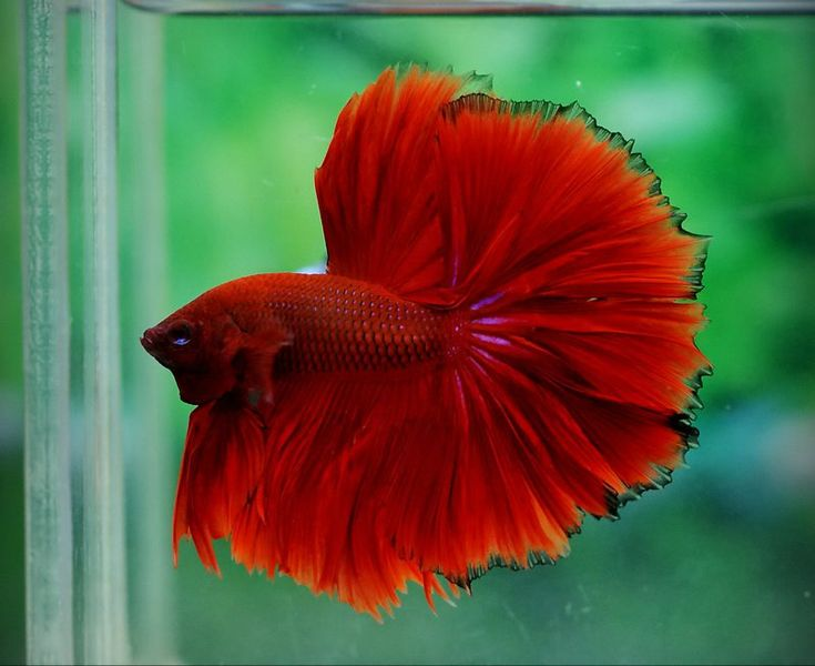 22 best images about bettas on pinterest beautiful big for Betta fish together