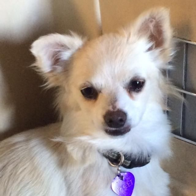 Meet Violet, a Petfinder adoptable Chihuahua Dog   Penngrove, CA   Flower girls Rose, Lilly, Violet, Daisy, Pansy and Poppy. Six little arctic fox look alikes.  Poppy...