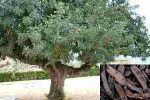 La Algarroba y sus propiedades curativas