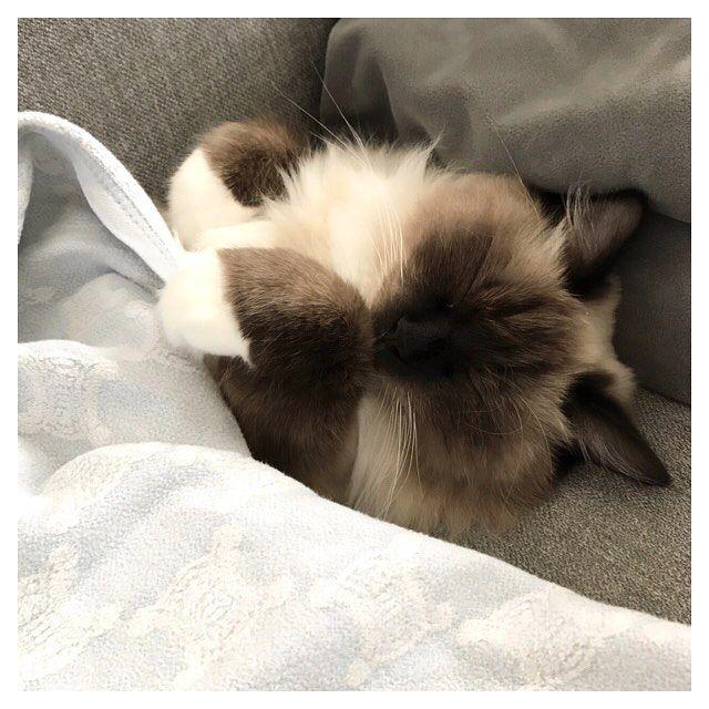 . . . 子供達がいない間 ソファーはナナちゃんのベッド🛌 . ぐっすり🐱💤💤 静かな時間😁 . . #眠り猫 #愛猫 #ラグドール #ragdoll #ragdolls #ragdollcat #多頭飼い #猫多頭飼い #猫好きさんと繋がりたい #猫大好き #猫と暮らす #love #likes #cat #cats #catstagram #catlover #kitty #kitten #instacat #neko #sleepingcat #猫 #長毛猫 #もふもふ部