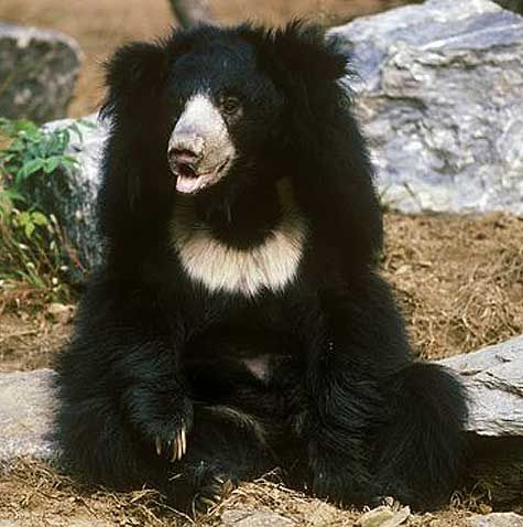 Sloth Bear - Shaggy-Coated, Insect Sucker | Animal Pictures and Facts | FactZoo.com