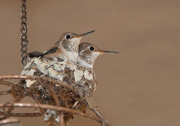 1000 Images About Bird Nests On Pinterest Hummingbird