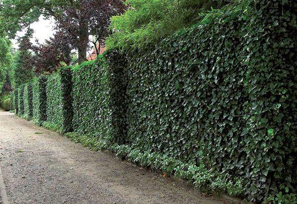 Las plantas tienen una cualidad que no suele tenerse mucho en cuenta pero que puede ayudarnos a hacer nuestra casa más confortable, como estas plantas que reducen el calor de las paredes y que vamos a ver a continuación. Seguramente habréis oído hablar de los techos verdes pues esto es parecido pero aplicado a las paredes.  Los árboles contribuyen a reducir en 5-7ºC la temperatura ambiente y las clásicas enredaderas que crecen trepando por una pared obtienen un resultado parecido. Pero no…