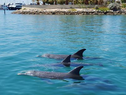 Mandurah Dolphins on a hot day
