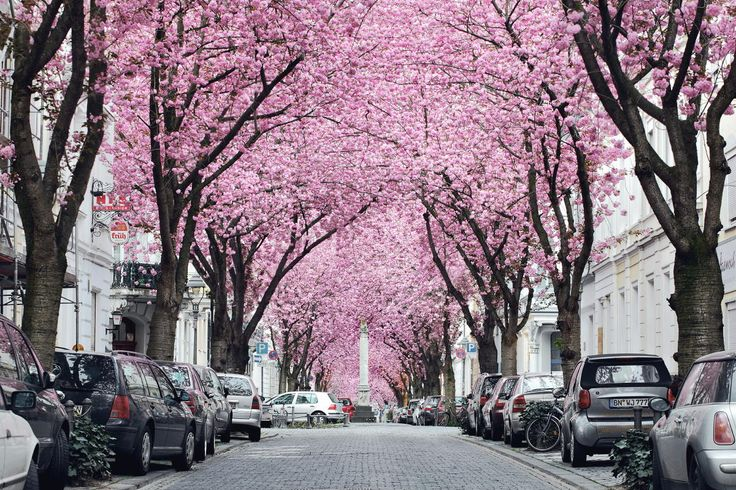 """Cherryade - <a href=""""https://www.facebook.com/pages/Landscape-Photography-by-Kilian-Schoenberger/304631876263547"""">facebook page</a>Famous cherry avenue in Bonn"""