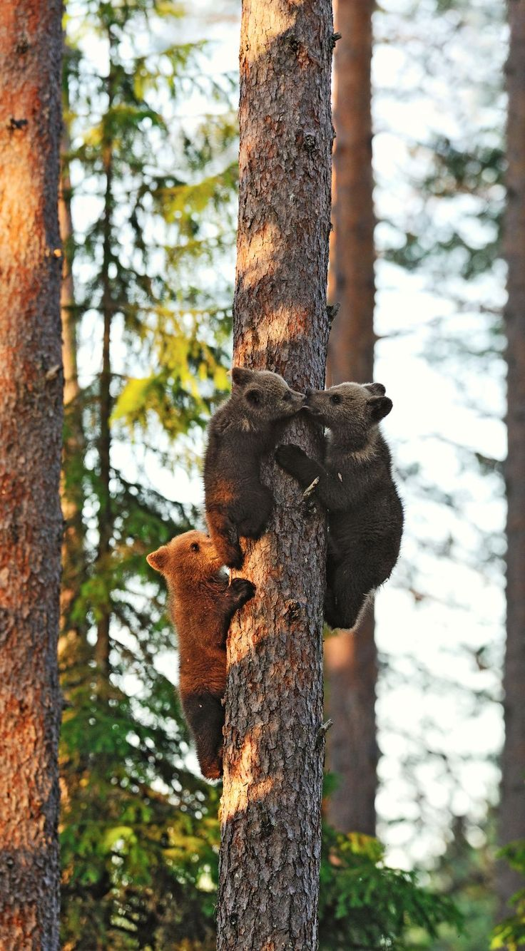 If you see a bear cub alone in the wild, it's very likely that the mother is nearby, and that's one fiercely protective parent you don't want to meet.