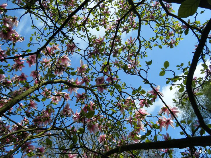 Magnolia (unknown - do you recognise it? See adjacent 2 pins) flowers against a deep blue spring sky.  April 2011