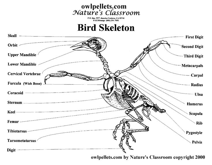 1000  images about bird skeletons on pinterest