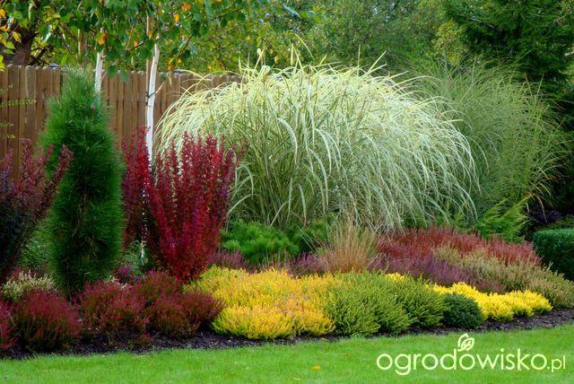 Wrzosy - Calluna - strona 16 - Forum ogrodnicze - Ogrodowisko