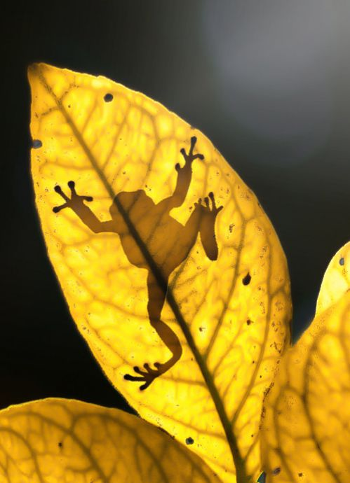 Frog on a leaf. The frog is actually on top of the leaf and the camera is taking the shot from underneath. So cool!