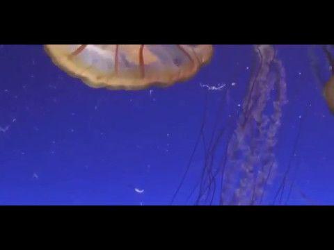 """10.05.17 Medusas danzando en la Bahía de Monterrey Blog """"La Caracola"""" de Aprocean http://aprocean.blogspot.com.es/"""
