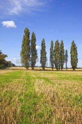 una fila de árboles de Álamo en un campo de oro  Foto de archivo