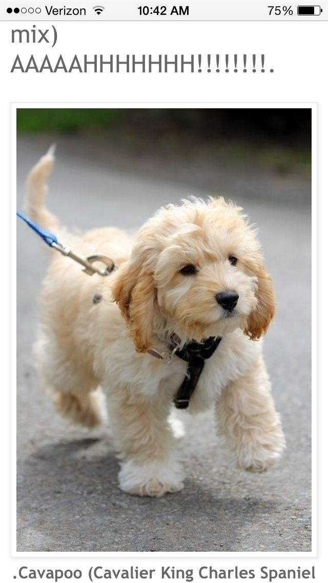I. Need. A. Cavapoo. Not even kidding they stay this small and cute  #hypoallergenic #HypoallergenicDog